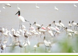 Jabiru is the large bird with the long black neck. It is extremely rare, but can be seen in Palo Verde.