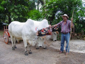 Guanacaste. Costa Rican farmer with oxen and oxcart.